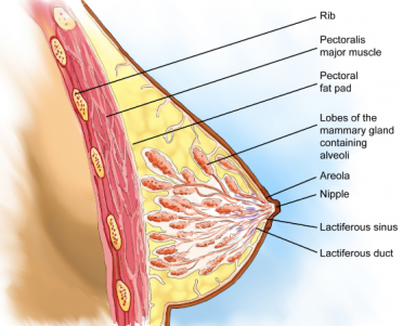 Breast Cancer Adelaide Consultation - Breast Cancer Symptoms & Treatment, Endocrine & General Surgery by Dr Andrew Kiu