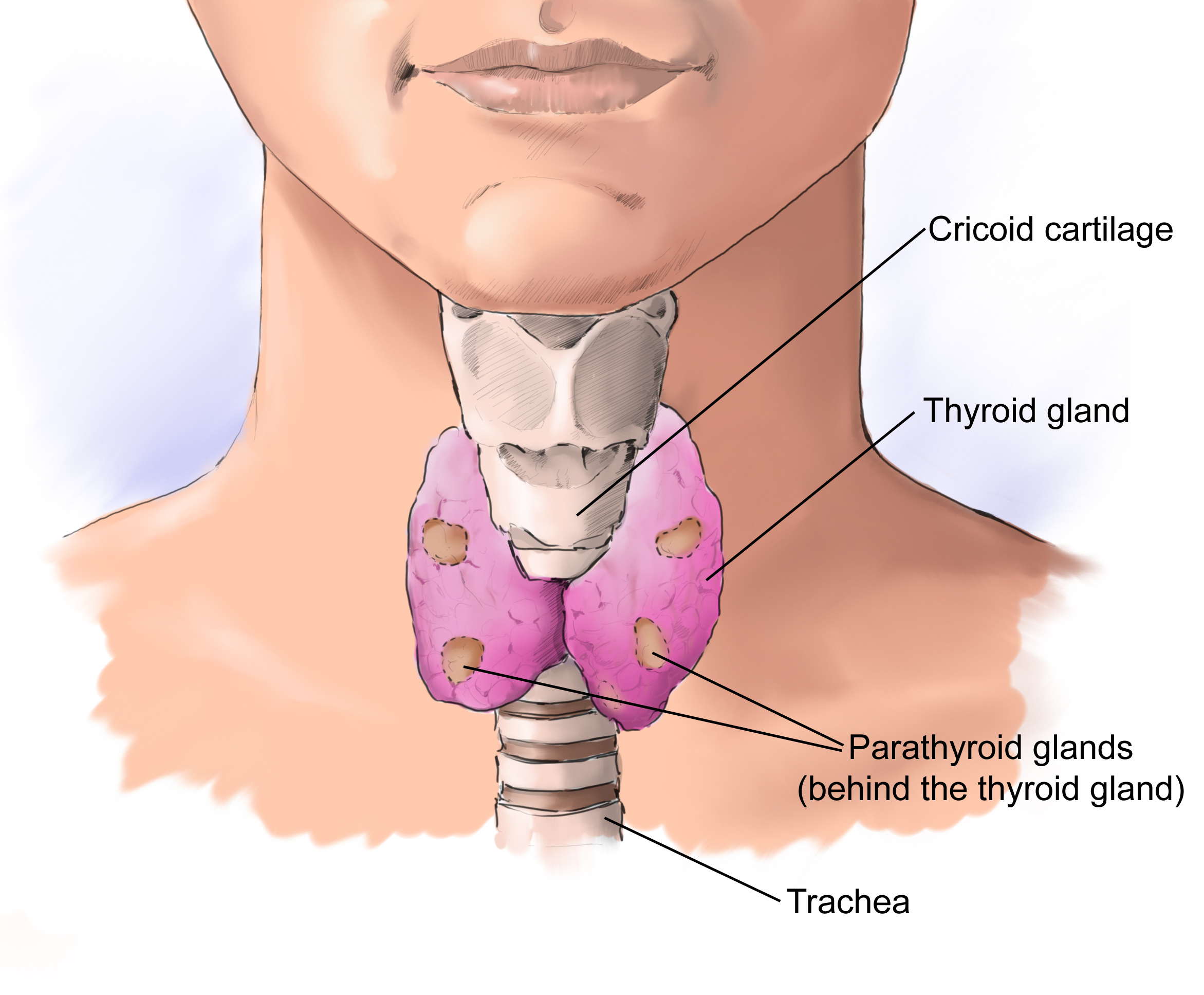 Thyroid Surgeon Adelaide - Thyroid Lumps Consultation By Dr Andrew Kiu