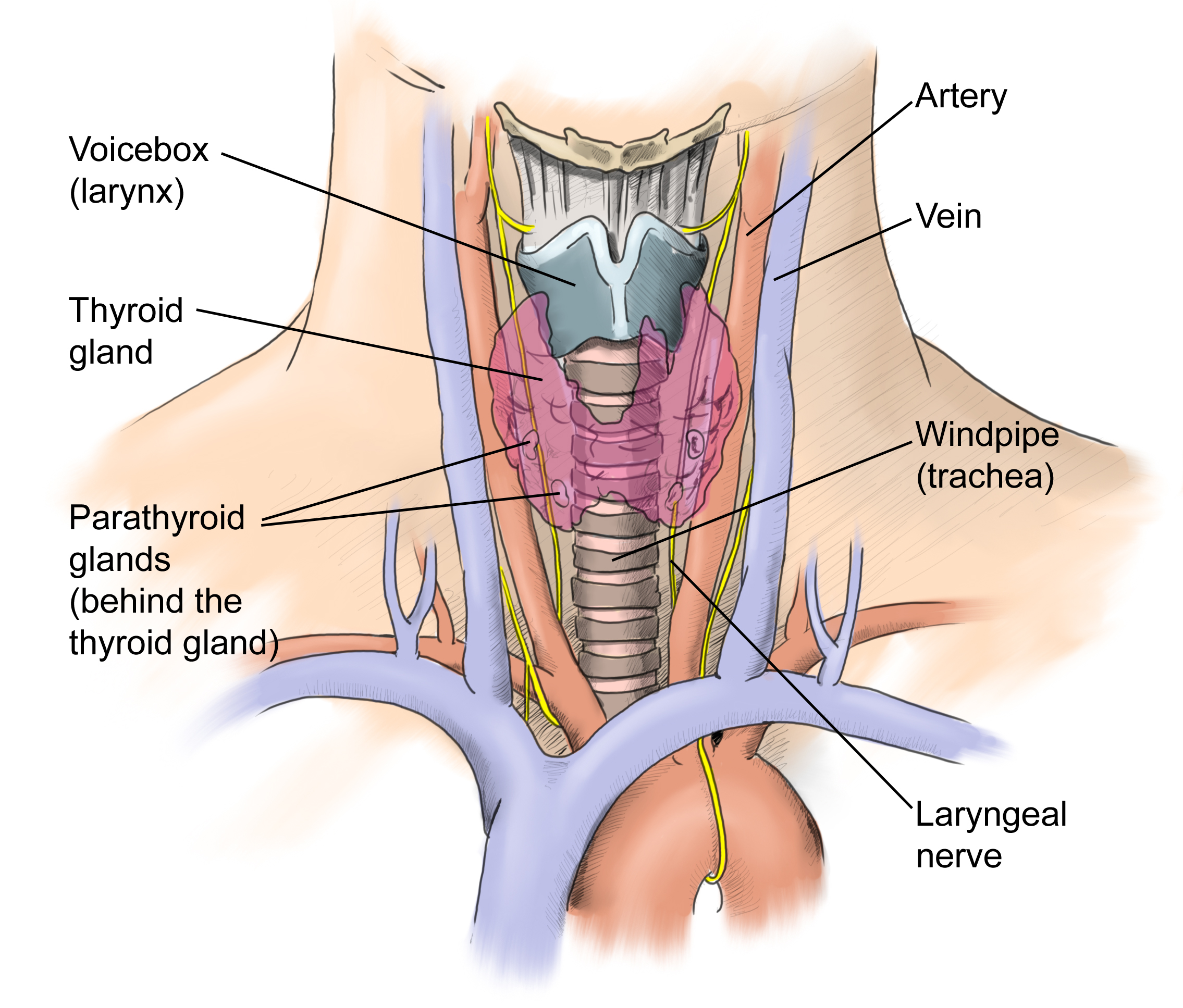 Thyroid Surgery Adelaide - Surgical Options For The Treatment Of Thyroid